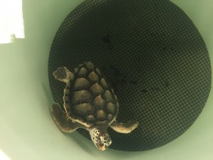 turtle in texas
